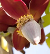 Palm Springs banana flower