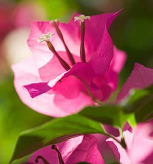 Palm Springs bougainvillea flowers